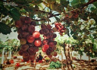 Gần ngay Tiền Giang có một vườn nho độc đáo cho tham quan miễn phí
