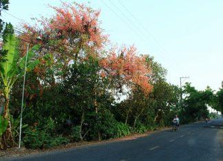 Tháng 3 về Đồng Tháp Mười mùa ô môi nở rực đẹp như tranh vẻ