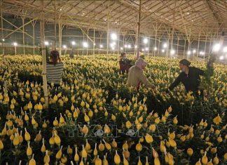 Tiền Giang sẽ cung ứng hơn 1 triệu giỏ hoa cho thị trường Tết