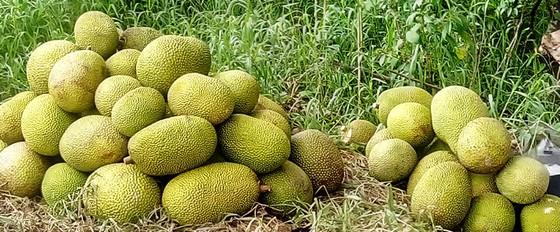 Nông dân thua lỗ vì nhiều loại trái cây rớt giá ảnh 2