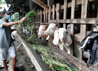 Tiền Giang: Cả gia đình bị mắc Covid-19, đàn dê được xóm làng chăm sóc